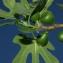 Pierre Bonnet - Ficus carica L.