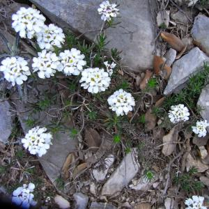Iberis saxatilis L. subsp. saxatilis (Ibéris des rochers)