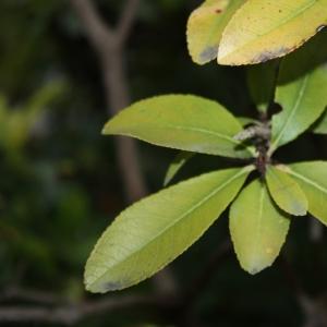 Photographie n°26810 du taxon Arbutus unedo L. [1753]
