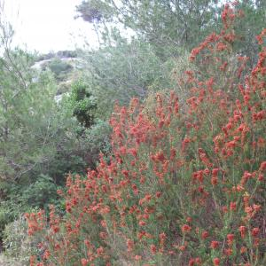 Photographie n°26882 du taxon Erica multiflora L.