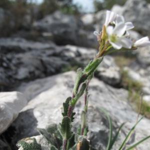 Photographie n°26892 du taxon Arabis collina Ten. [1815]