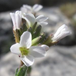 Photographie n°26893 du taxon Arabis collina Ten. [1815]