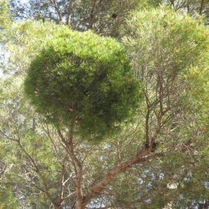Photographie n°26899 du taxon Pinus halepensis Mill.