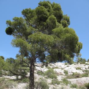 Photographie n°26900 du taxon Pinus halepensis Mill.