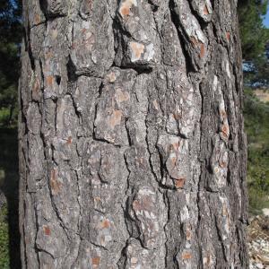 Photographie n°26902 du taxon Pinus halepensis Mill.
