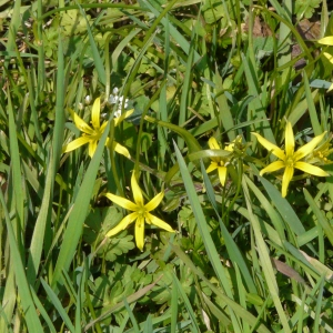 Photographie n°26904 du taxon Gagea villosa (M.Bieb.) Sweet