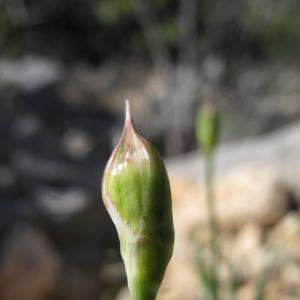 Photographie n°26910 du taxon Allium roseum L. [1753]