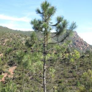 Photographie n°26943 du taxon Pinus pinaster Aiton [1789]