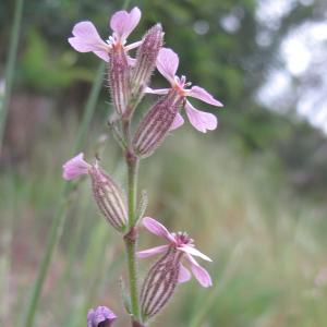 Photographie n°26957 du taxon Silene gallica L.