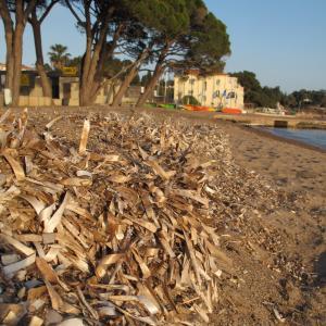 - Posidonia oceanica (L.) Delile