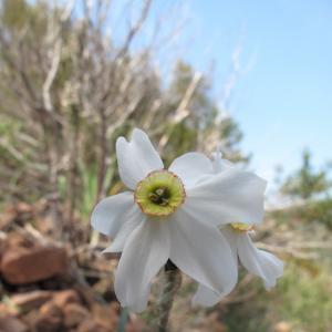 Narcissus poeticus L. subsp. poeticus (Narcisse des poètes)
