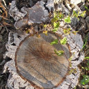Photographie n°26997 du taxon Quercus suber L. [1753]