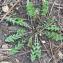 Bertrand BUI - Taraxacum erythrospermum Andrz. ex Besser