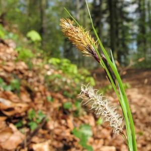 Photographie n°27141 du taxon Carex flacca Schreb. [1771]