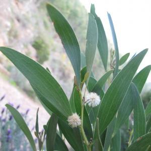 Acacia melanoxylon R.Br. (Mimosa à bois noir)