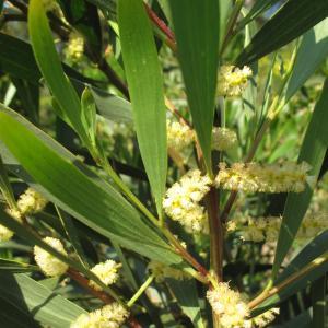 - Acacia longifolia (Andrews) Willd. [1806]