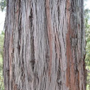 Eucalyptus camaldulensis Dehnh. (Gommier de Camaldoli)
