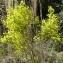 Bertrand BUI - Coronilla minima subsp. lotoides (W.D.J.Koch) Nyman [1878]
