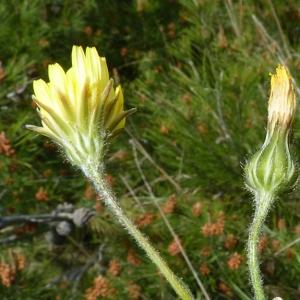 Photographie n°27333 du taxon Crepis sancta subsp. nemausensis (Vill.) Babc. [1941]
