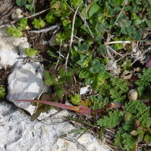 Photographie n°27336 du taxon Erodium chium (L.) Willd. [1794]