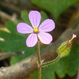 Photographie n°27339 du taxon Geranium robertianum subsp. purpureum (Vill.) Nyman [1878]