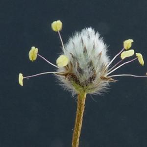 Photographie n°27358 du taxon Plantago lagopus L.