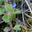 Bertrand BUI - Veronica hederifolia subsp. triloba (Opiz) Celak. [1871]