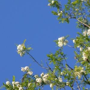 Photographie n°27432 du taxon Robinia pseudoacacia L.