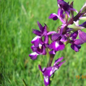 Photographie n°27497 du taxon Orchis laxiflora Lam. [1779]