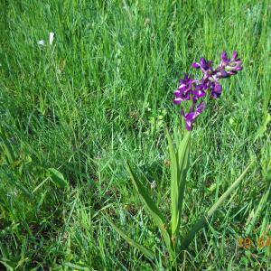 Photographie n°27498 du taxon Orchis laxiflora Lam. [1779]