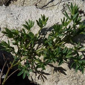 Photographie n°27509 du taxon Dorycnium herbaceum subsp. gracile (Jord.) Nyman [1878]