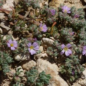Photographie n°27510 du taxon Frankenia hirsuta L. [1753]