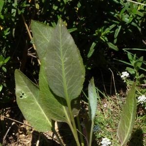 Photographie n°27517 du taxon Lepidium latifolium L.