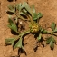 Bertrand BUI - Ranunculus paludosus Poir.