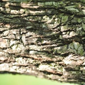 Photographie n°27581 du taxon Pyrus nivalis Jacq.