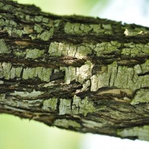 Photographie n°27582 du taxon Pyrus nivalis Jacq.