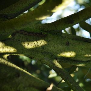 Photographie n°27587 du taxon Prunus laurocerasus L.