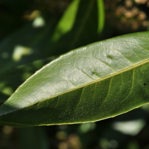 Photographie n°27591 du taxon Prunus laurocerasus L.
