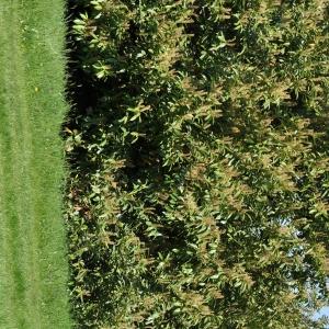 Photographie n°27592 du taxon Prunus laurocerasus L.