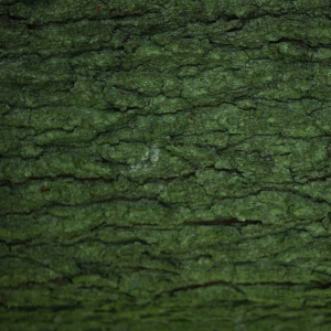 Quercus frainetto Ten. (Chêne de Hongrie)