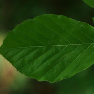 Photographie n°27620 du taxon Fagus sylvatica L.