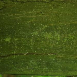 Photographie n°27625 du taxon Carpinus betulus L.