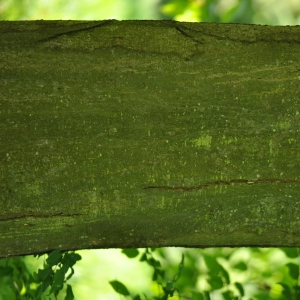 Photographie n°27626 du taxon Carpinus betulus L.