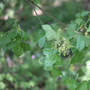 Photographie n°27649 du taxon Acer monspessulanum L. [1753]