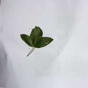Photographie n°27650 du taxon Acer monspessulanum L. [1753]