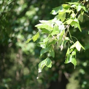Photographie n°27651 du taxon Acer monspessulanum L. [1753]