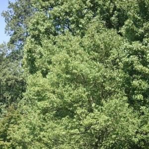 Photographie n°27652 du taxon Acer monspessulanum L. [1753]