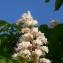 Pierre Bonnet - Aesculus hippocastanum L.