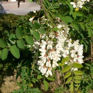 Photographie n°27731 du taxon Robinia pseudoacacia L.