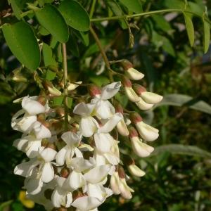 Photographie n°27732 du taxon Robinia pseudoacacia L.